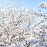 【さくらのなぞなぞ】桜がさく季節にやってくる「ナミ」ってどんな「ナミ」?他5問!